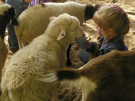"""sheep"" by the poet scanlon"